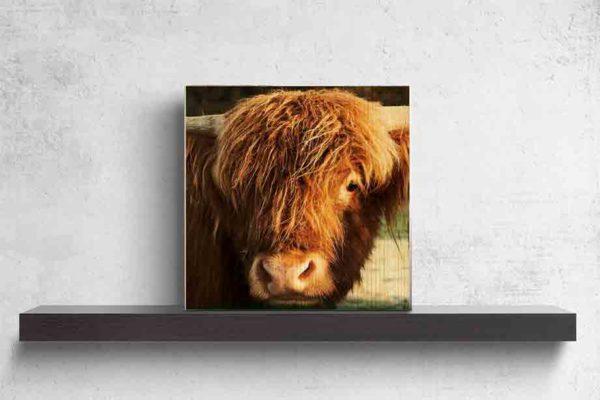Schottland Highland Rind. Es zeigt das Bild eines jungen schottischen Highland Rindes, welches frontal in die Kamera schaut. Von dem Rind ist hauptsächlich nur der Kopf und die Hörner zu sehen. Die Farbe des Fells ist hellbraun. Das Holzbild ist quadratisch und steht auf einem schwarzen Wandregal vor weißem Hintergrund.