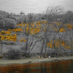 """Schottland Loch Ness. Es zeigt das Bild des Ufers von dem schottischen See """"Loch Ness"""", fotografiert vom See. Das Bild ist in Schwarz Weiss, nur der gelbe Ginster ist in Gelb. Im unteren Teil des Bildes ist der See zu sehen, nach einem schmalen Kiesstreifen stehen Bäume, jedoch noch ohne Blätter. Danach folgt eine Art Heidelandschaft mit Bäumen und Büschen und dem wunderschön gelb blühenden schottischen Stechginster. Das Bild ist im Querformat und in Farbe."""